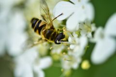 The bee collects nectar and pollinates the plant. In a flowering garden stock photography
