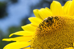 Bee collects nectar and pollinates sunflower. Royalty Free Stock Photo