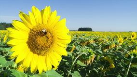 Bee collects nectar and pollinates sunflower. stock video