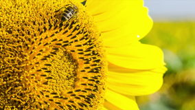 Bee collects nectar and pollinates sunflower. Closeup. stock video