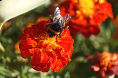 Bee collects nectar sitting on an orange marigold Royalty Free Stock Photos
