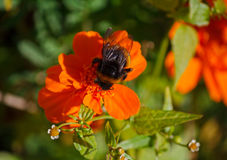 Bee collects nectar sitting on an orange marigold Royalty Free Stock Image