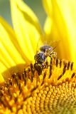 Bee collects nectar from a sunflower flower on orange blurred ba. Ckground, banner for website.Blurred space for your text royalty free stock image