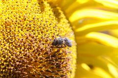 Bee collects nectar from a sunflower flower on orange blurred ba. Ckground, banner for website.Blurred space for your text royalty free stock photography