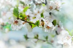 Bee collects nectar from white apple flowers, selective  focus. close-up. background stock image