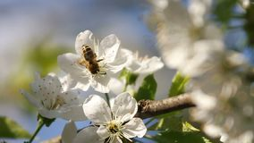 Bee collects nectar from white blossoming tree flower and flies away. Bee collects pollen from white blooming flowers of a cherry tree stock video footage