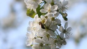 Bee collects nectar from white blossoming tree flower and flies away. Bee on petals of cherry,. Bee collects pollen from white blooming flowers of a cherry tree stock video footage