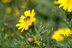 Bee. Collects nectar on a yellow daisy Royalty Free Stock Images