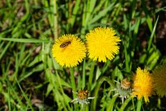 Bee collects nectar on a yellow dandelion flowers stock images