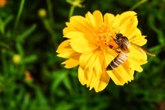 Bee collects nectar from yellow flower. In garden Stock Image