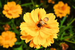 Bee collects nectar from yellow flower. In garden Stock Photography