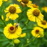 Honey bee sitting on yellow flower in summer day. royalty free stock photos