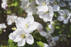 The bee collects the pollen on the apple blossom. Close-up, selective focus. The concept of a spring blooming garden stock images