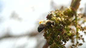 Bee collects nectar from blossoming exotic plants of Canary Islands. Close-up of a flying Bee in super slow motion. Bee collects pollen from blooming exotic stock video footage