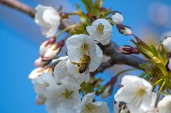 A bee collects pollen for copper from a sprig of white cherry blossom stock photography
