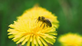 Bee collects pollen from a dandelion. Bee flies from dandelion. Macro in super slow motion stock video footage