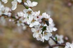 Bee collects pollen from delicate cherry flowers stock photography
