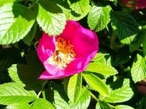 bee collects pollen from dog rose flower stock photo