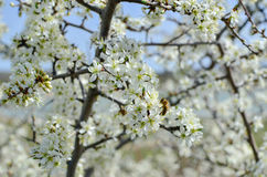 Bee collects pollen from a flower apricot tree Stock Photos