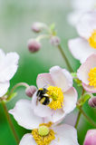 Bee collects pollen from flower, close-up. A bee collects pollen from flower, close-up Stock Photography