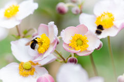 A bee collects pollen from flower, close-up Royalty Free Stock Image