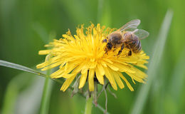 Bee. Collects pollen from a flower dandelion Stock Image