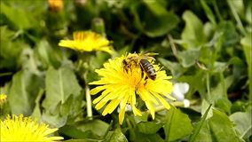 Bee collects pollen on flower of the dandelion stock video