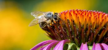 A bee collects pollen on a flower of echinacea royalty free stock images