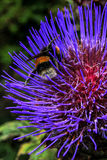 Bee collects pollen. Flower. UK. Royalty Free Stock Images