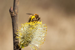 The bee collects pollen on the flowering tree. stock photos