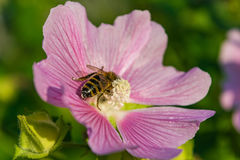 A bee collects pollen from Mallow. Purple flowers lungwort in the spring Royalty Free Stock Image