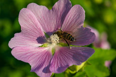 A bee collects pollen from Mallow. Purple flowers lungwort in the spring Stock Images