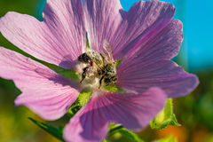 A bee collects pollen from Mallow. Purple flowers lungwort in the spring Royalty Free Stock Photo