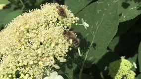 The bee collects pollen, natural nature. stock footage