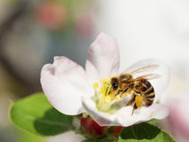 Bee. Collects pollen and nectar on apple tree spring flower blossoms Stock Photo