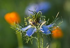 Bee collects pollen and nectar from nigella flower stock photo