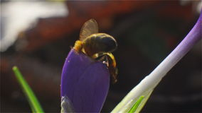 Bee collects pollen and nectar from purple flower stock video