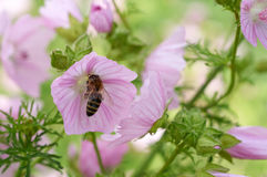 Bee collects pollen on pink flower Stock Photography