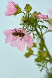 Bee collects pollen on pink flower Stock Photo