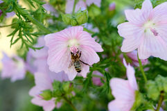 Bee collects pollen on pink flower Royalty Free Stock Images