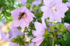 Bee collects pollen on pink flower Stock Image