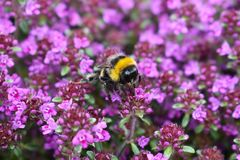 A bee collects pollen from pink flowers. During springtime in a UK garden stock photography