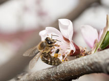 A bee collects pollen from a pink peach flower. With a blurred background Stock Photos