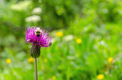 Bee collects pollen from a purple flower Royalty Free Stock Images