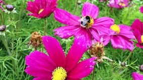 Bee on a purple flower. Bee collects pollen on a purple flower in a meadow where it has rained recently stock video