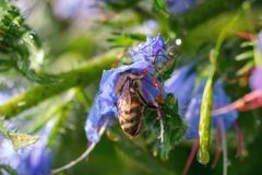 Bee collects pollen from a purple flower after rain.  Royalty Free Stock Photos