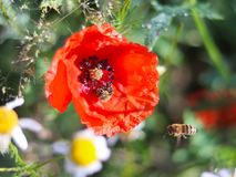 The bee collects pollen from a red field flower on a green background. Macro photo of a field plant and insects in the rays of sun Royalty Free Stock Images