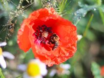 The bee collects pollen from a red field flower on a green background. Macro photo of a field plant and insects in the rays of sun Royalty Free Stock Photography