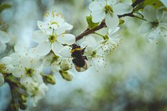 Bee collects pollen. Spring day. The trees awoke and bloomed. Bees, meanwhile, began to collect pollen from the newly opened apple flowers. In the photo, one of royalty free stock image