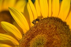 Bee collects pollen on the sunflower stock photography